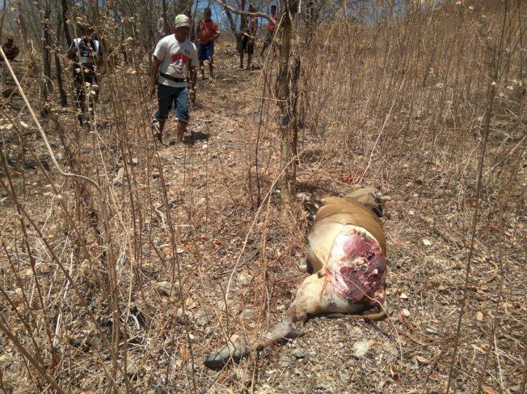 Polisi Datangi Lokasi Pencurian Hewan Ternak Di Kupang Tengah